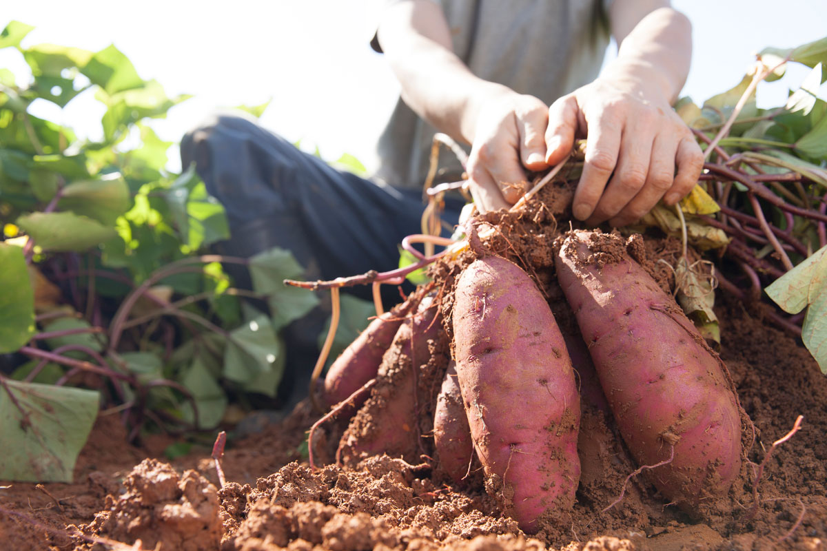 Farmer picking sweet potatoes